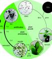 碳中和研究成果:利用植物固碳的同时制备碳化硅
